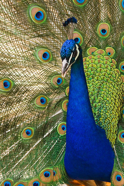 A photograph of a peacock